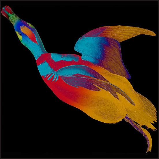 Pied Duck - Audubon Edition
