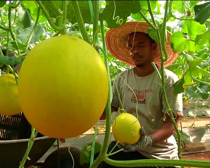 #TranungMolekDoh  Kombinasi tekstur yang rangup digabungkan dengan rasa yang manis dan berlemak, rona warna yang memukau meletakkan MMT atau Melon Manis Terengganu sebagai buah yang unik dan berada di kelas yang tersendiri.   Ikon terbaru negeri Tere