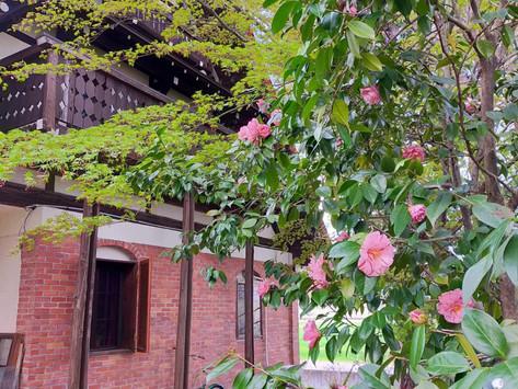 お庭の椿の花が咲きました。