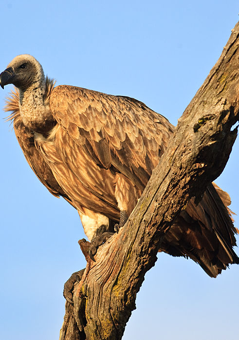 African White-backed Vulture_SAd_Leeupan
