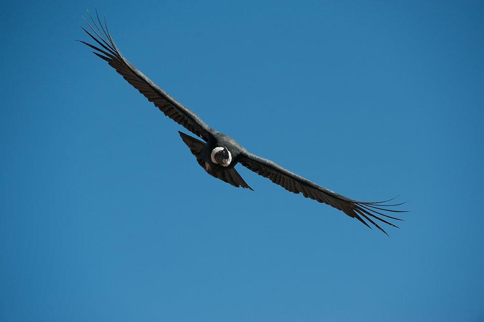 Condor-3.jpg
