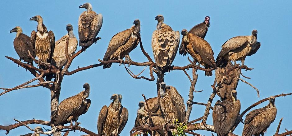 Medley of Vultures_Selati VFS, Limpopo_16.6_edited.jpg