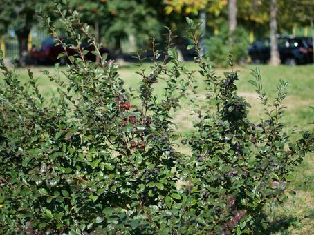 Hedge Rejuvenation