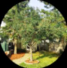 Apple Tree pruning 2.png