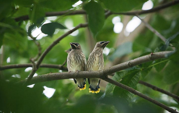 Young cedar waxwings, anxiously perched,