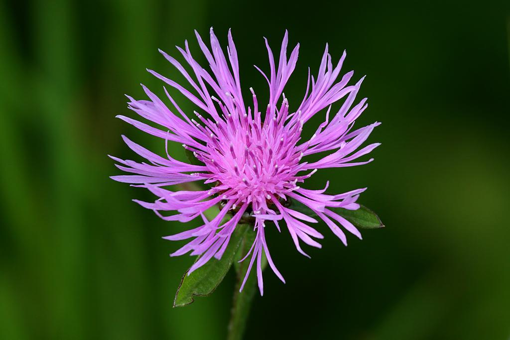 Spotted_Knapweed_(Centaurea_maculosa)