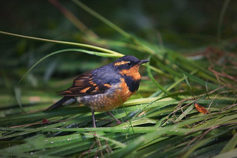 Varied Thrushes hop on the ground or low