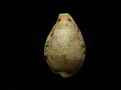 Cypraea hungerfordi 37.6mm