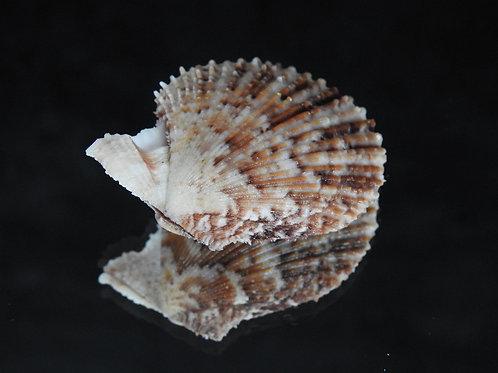 Mimachlamys varia 42.2mm