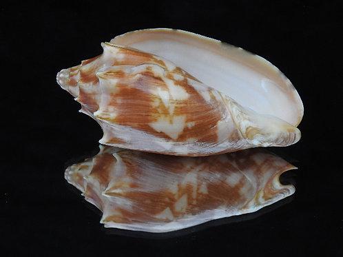Cymbiola vespertilio f. matiyensis 96.5mm