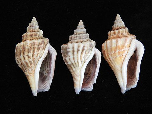 Strombus labiatus f. olydius 39mm
