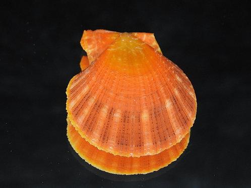 Chlamys squamosa 48.7mm