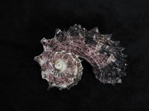 Angaria delphinus 59.7mm