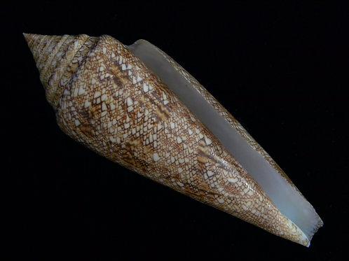 Conus gloriamaris 110.7m