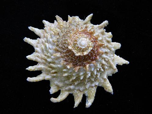 Astraea phoebia 74.6mm