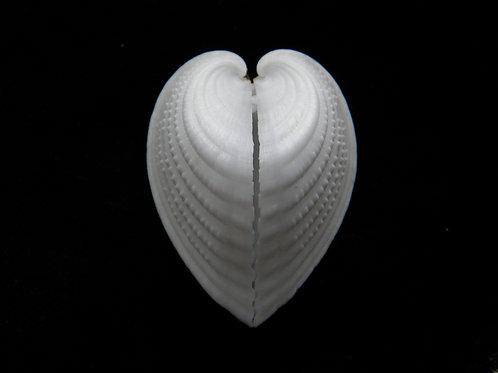 Fragum auricula 49.3mm