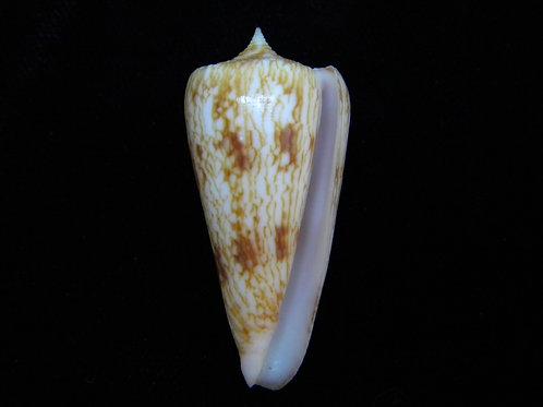 Conus neptunus 44.3mm