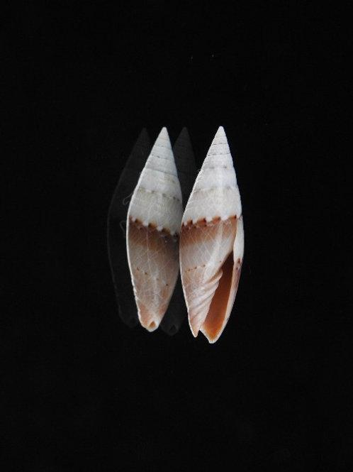 Scabricola fissurata 26mm