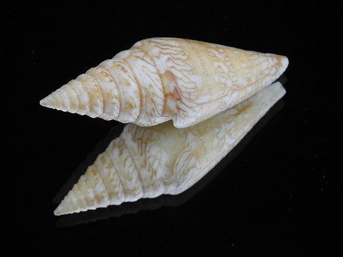 Conus excelsus 63.5mm