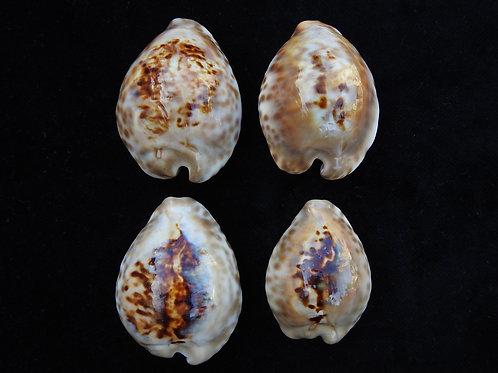 Cypraea teulerei (Set of 4 shells)
