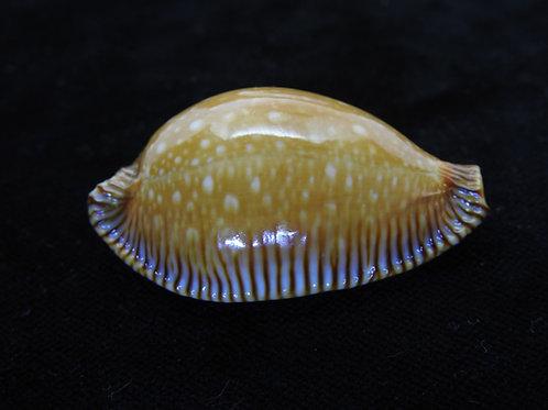 Cypraea guttata surinensis bengalensis 53.5mm