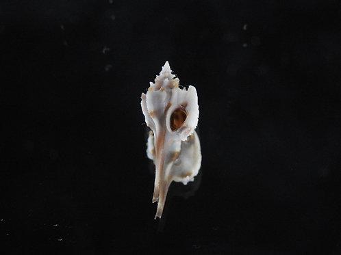Typhis cumingii 22.2mm