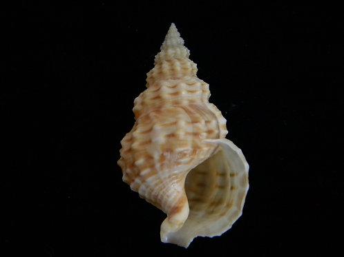 Nassaria thesaura 48.5mm