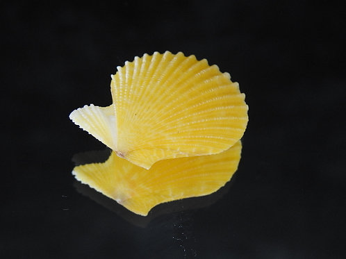 Mimachlamys cloacata 29mm