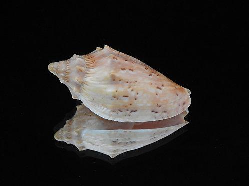 Cymbiola pulchra f. woolacottae 57.4mm