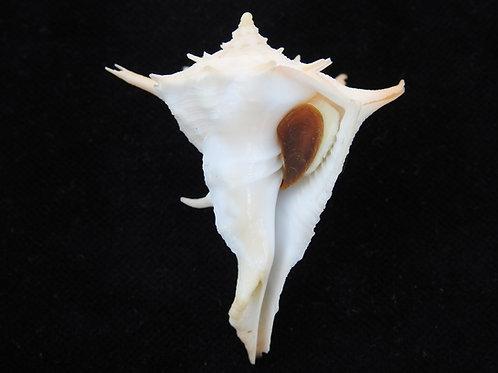 Tudivasum zanzibaricum 54.4mm