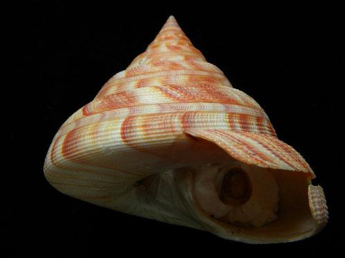 Pleurotomaria hirasei 89.3mm