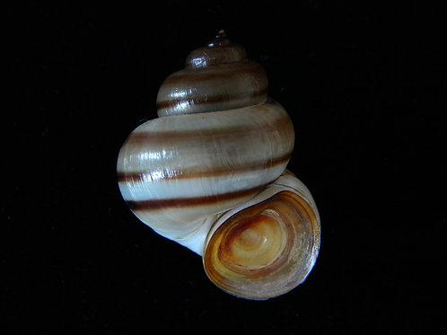 Viviparus contectus 43.3mm