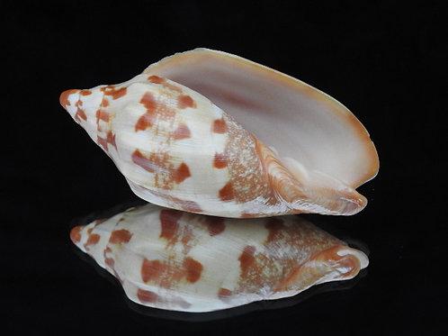 Cymbiola palawanica 93.1mm