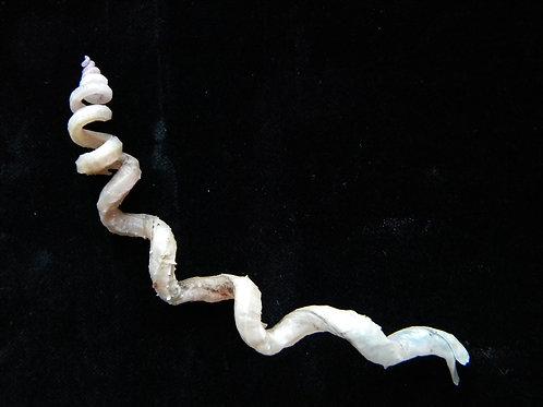 Siliquaria anguina 146.2mm
