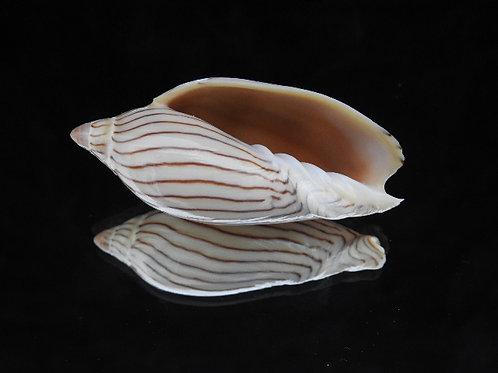 Amoria ellioti 69.1mm