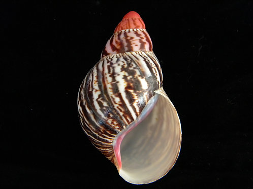 Archachatina marginata suturalis 98mm (Giant)
