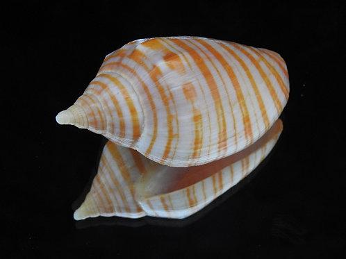Harpulina aurasiaca 66.9mm