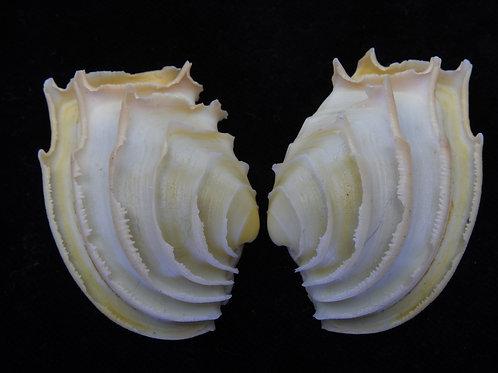 Callanaitis disjecta 44.5mm