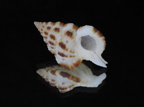 Gyrineum bituberculare f. fuscocostata 39.1mm