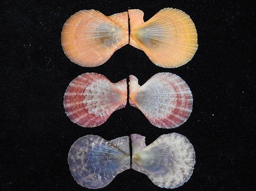 Chlamys squamosa 27mm