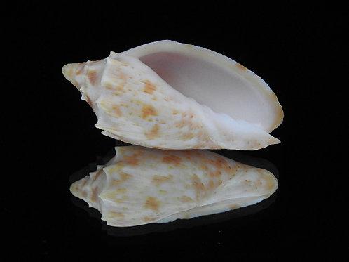 Cymbiola pulchra f. wisemani 66.2mm