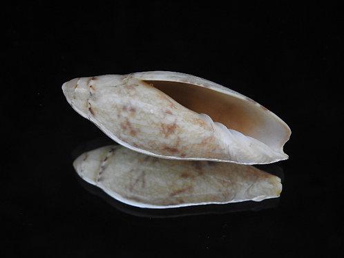 Amoria praetexta 54.2mm