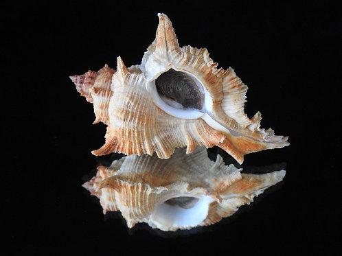 Siratus springeri 83.3mm
