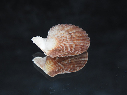 Mimachlamys cloacata 28.6mm