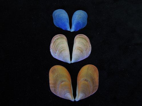 Septifer bilocularis (Set of 3 shells)