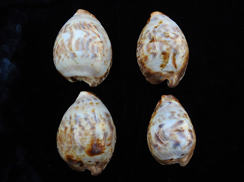 Cypraea teulerei (Set of 4 shells)
