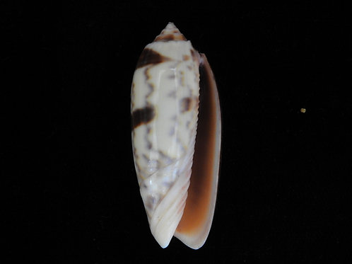 Oliva miniacea saturata 44.1mm