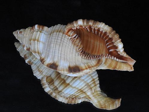 Cymatium pilearis 130.4mm