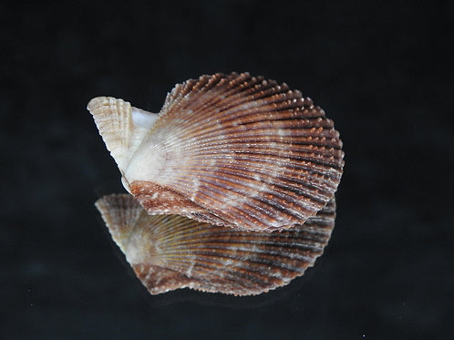 Mimachlamys varia 41.3mm
