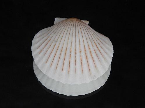 Aequipecten opercularis f. lineata 57.6mm